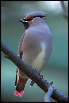 The Japanese waxwing (Bombycilla japonica) is a fairly small passerine bird of the waxwing family found in north-east Asia.
