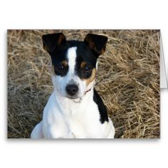 Rat Terrier Greeting Card from Zazzle.com