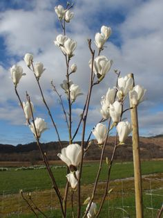 MAGNOLIA DENUDATA- masses of white goblet shaped flowers- reliably flowers at a young age