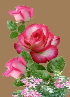 Flori Beautiful Rose Flowers, Red Rose Flower, Hibiscus Flowers, Amazing Flowers, Pink Flowers, Beautiful Flowers, Jade Plant Bonsai, Jade Plants, Box Roses