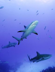 Reef sharks swim clear waters of the Bahamas.  CREDIT: Neil Hammerschlag.