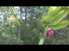 How to Grow Your Own Dragon Fruit! - Complete Growing Guide - YouTube