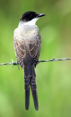 Fork-tailed Flycatcher, Tyrannus savana: central Mexico to central Argentina