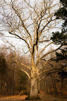 Winter Tree Awaiting Snow - Hurd State Park, CT
