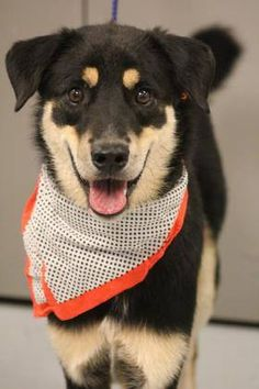 ADOPTED> NAME: Diesel  ANIMAL ID: 28682749  BREED: Shepherd mix  SEX: male (altered)  EST. AGE: 2 yr  Est Weight: 48 lbs  Health: heartworm neg, Leg healed wrong after break- could be left that way or re-broke.  Temperament: dog friendly people friendly  ADDITIONAL INFO: RESCUE PULL FEE: $35  Intake date: 8/10  Available: Now