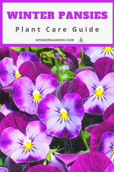 Grow and care for the winter pansies in your garden. In this plant post, learn winter pansy care, pansy planting tips, companion plants, & more! Winter Container Gardening, Indoor Gardening Supplies, Balcony Gardening, Winter Pansies, Winter Flowers, Autumn Garden, Spring Garden, Blooming Plants, Flowering Plants