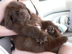 Kodi Bear as a puppy. 7 years & 160 pounds ago by Deb Heary McAtee(fb Newfoundland Dog Lovers)