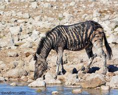 melanistic zebra