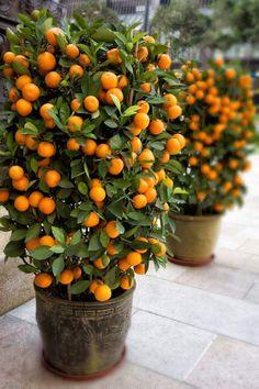 Bonsai Fruit Tree, Dwarf Fruit Trees, Container Gardening, Gardening Tips, Tropical Fruits, Citrus Fruits, Citrus Trees, Lush Garden, Organic Vegetables