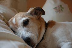 Old dog napping