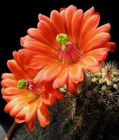 ✯ Orange Cactus Flowers
