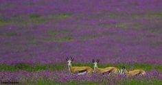 Springbok near Stanford in the Western Cape