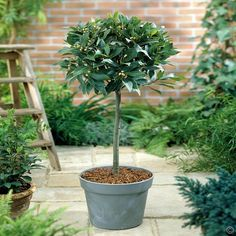 Szczepiony laur szlachetny - 1 drzewo