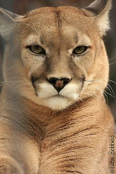 U r quite the beautiful cat i have ever saw. : U r quite the beautiful cat i have ever saw. Big Cats, Cute Cats, Cats And Kittens, Nature Animals, Animals And Pets, Cute Animals, Pumas Animal, Beautiful Cats, Animals Beautiful