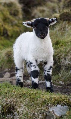 A Spring Lamb.