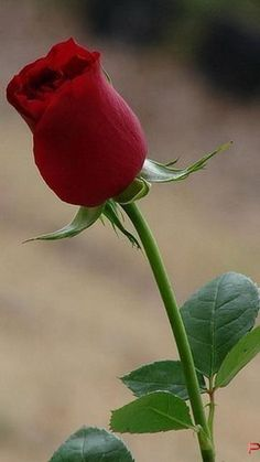 Single red rose • photo: hussaindadnazari on…