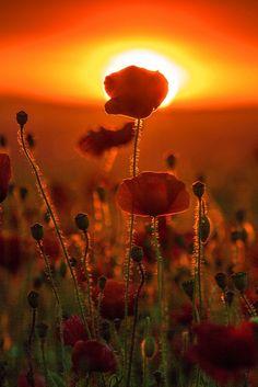 oceanflower2015:  Poppy Sunset, Derbyshire, England | by Julian Barker