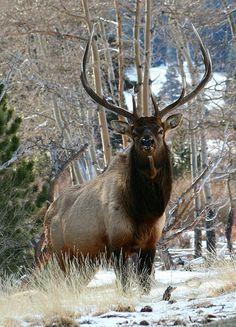 Elk in Endo Valley, Rocky Mountain National Park, 2008