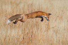Winning photos from Wildlife Photographer of the Year 2013 - Fox hunting in Yellowstone National Park, Wyoming Wild Life, Beautiful Creatures, Animals Beautiful, Cute Animals, Photo Animaliere, Concours Photo, Fox Hunting, Mundo Animal, Parc National