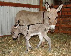 https://flic.kr/p/2Y3As3 | Miniature Donkeys | Miniature donkey baby born today, August 31, 2007.