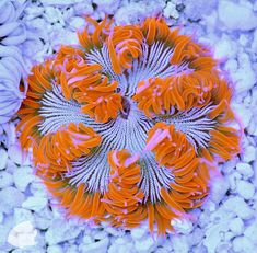 Got a NPS (non-photosynthetic) tank? Check out this incredible rock anemone; It's glowing!