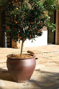 7 Tips to Growing Citrus Fruit Indoors   Reclaim, Grow, Sustain