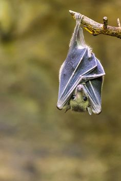 The Egyptian fruit bat or Egyptian rousette is a species of Old World fruit bat.