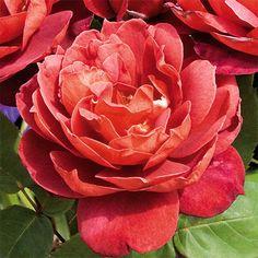 Hot cocoa floribunda rose - a very vigorous grower !