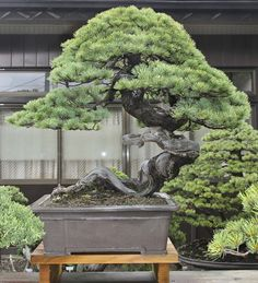 Our first stop today was at the private garden of Masahiko Kimura where we saw magnificent, mostly large size bonsai. Description from valavanisbonsaiblog.com. I searched for this on bing.com/images