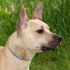 Adopt Bahama, a Pit Bull Terrier, at Main Line Animal Rescue