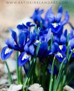 """Iris Watercolor"" photographic art print -  mini blue irises announce spring's…"