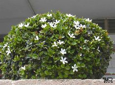 Carissa macrocarpa - natal plum. white flowers, red fruit. 28 sp ft. groundcover