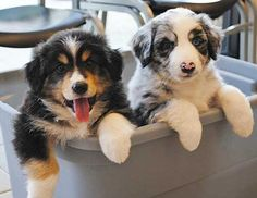 The Aussie Weekly #80 — The Weekly Special Feature for Australian Shepherd Lovers — Photo: Chris Massey, Aussie: Chevy and Chipper