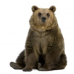 Brown Bear, 8 Years Old, Sitting In Front Of White Background Royalty Free Stock Photo, Pictures, Images And Stock Photography. Image 7980647.