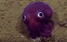 Is it a Pokemon? Googly-eyed purple squid snubs submarine crew     - CNET  Enlarge Image  The crew of the research vessel Nautilus spotted this colorful cuttlefish relative on Friday off the California coast.                                               Video screenshot by Gael Fashingbauer Cooper/CNET                                           I can hear you you know. Im just sitting here on the bottom of the ocean floor somewhere off the coast of Southern California and suddenly you…
