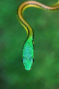 Parrot Snake - Costa Rica