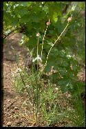 plantule Ail des vignes