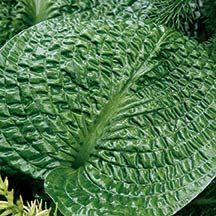 Hosta Clear Fork River Valley Van Wade '07 One of the most heavily corrugated hostas