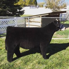 Fluffy show calf Cattle Barn, Show Cattle, Beef Cattle, Livestock Farming, Pig Farming, Show Cows, Pig Showing, Mini Cows, Fluffy Cows