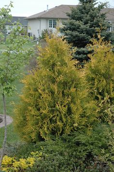 "Yellow Ribbon White Cedar (Thuja occidentalis ""Yellow Ribbon"") in Minneapolis St Paul Twin Cities Metro Minnesota at Bachman's Landscaping Patio Plants, Garden Shrubs, Garden Trees, Landscaping Plants, Landscaping Ideas, Evergreen Shrubs, Trees And Shrubs, Cedar Hedge, Thuja Occidentalis"