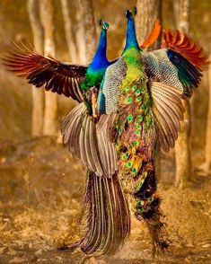hat a Royal picture of Royal birds Peacock- National Bird of India Photo b Tropical Birds, Exotic Birds, Colorful Birds, Pretty Birds, Beautiful Birds, Animals Beautiful, Animals And Pets, Cute Animals, Peafowl