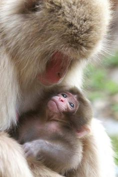 Snow monkey mom and her adored little one