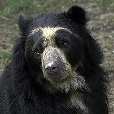 Andean bear aka Spectacled Bear | Lincoln Park Zoo