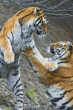 ~~Mother against daughter! ~ tigers by Tambako the Jaguar~~