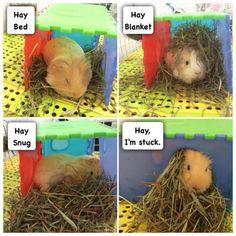 Hay I'm stuck Baby Guinea Pigs, Guinea Pig Care, Baby Animals Super Cute, Cute Funny Animals, Guinie Pig, Guinea Pig Quotes, Pig Pics, Animal Memes, Fur Babies