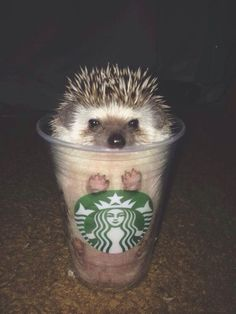 I always want Starbucks and I always want a hedgehog. so this is kind of awesome. plus, at first glance, he looks a bit like a frappuccino.