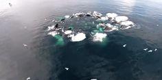チームプレイで泡の壁を作り魚を追い込む、ザトウクジラのハンティング「バブルネットフィーディング」