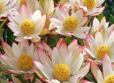 Designs For Garden Flower Beds Leucadendron Harvest Australian Native Garden, Australian Native Flowers, Australian Wildflowers, Shade Garden, Garden Plants, Maui, Garden Express, Safari, Flower Company
