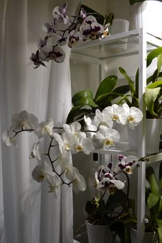 Phalaenopsis huge blooming Orchids, Bloom, Plants, Plant, Planets, Orchid