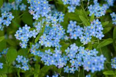 Since I was very small, I have always adored forget-me-nots. We had them growing, a gentle blue patch of relaxation, in the rockery in the front garden – and something about their colour, the…